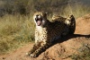 Cheetah (Gepard)